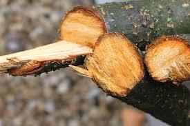 El desmoche, una actividad que daña gravemente al árbol