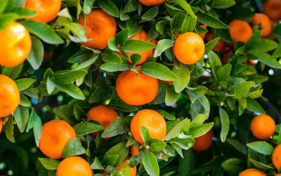 La poda de árboles frutales también en verano