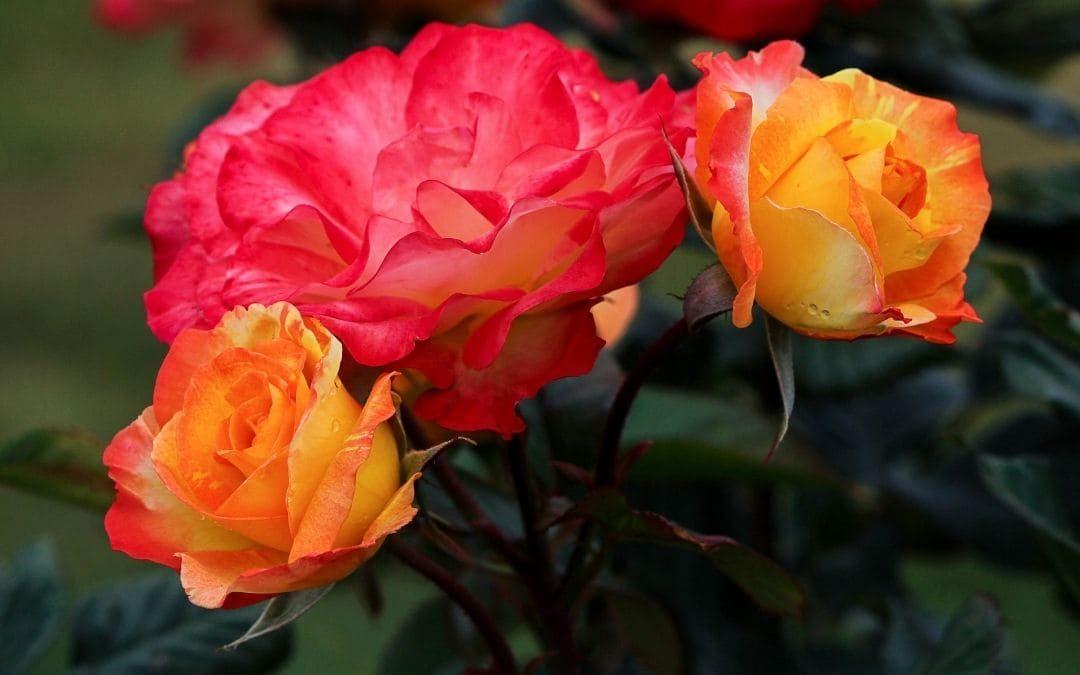 prepara tus rosales para el invierno