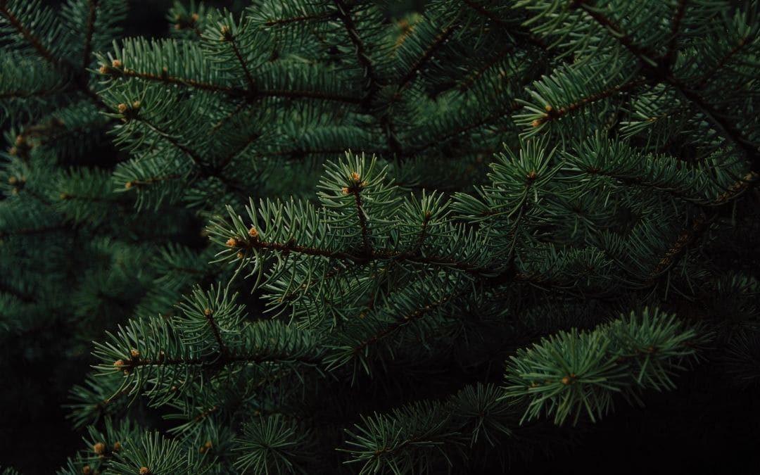 Peculiaridades de los árboles de hoja perenne